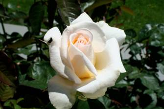 Helga Dawn\'s Roses