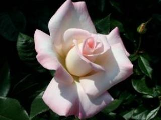 Helga Dawn's Roses