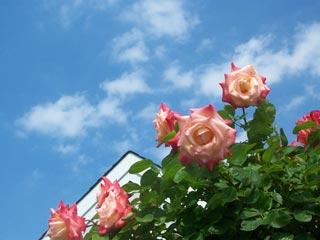 mgoldbergs-rose-photo1