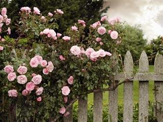 mgoldbergs-pink-fence